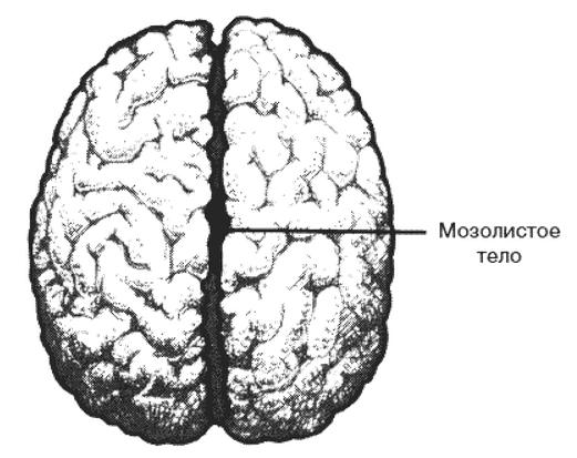 Мозолисте тіло.